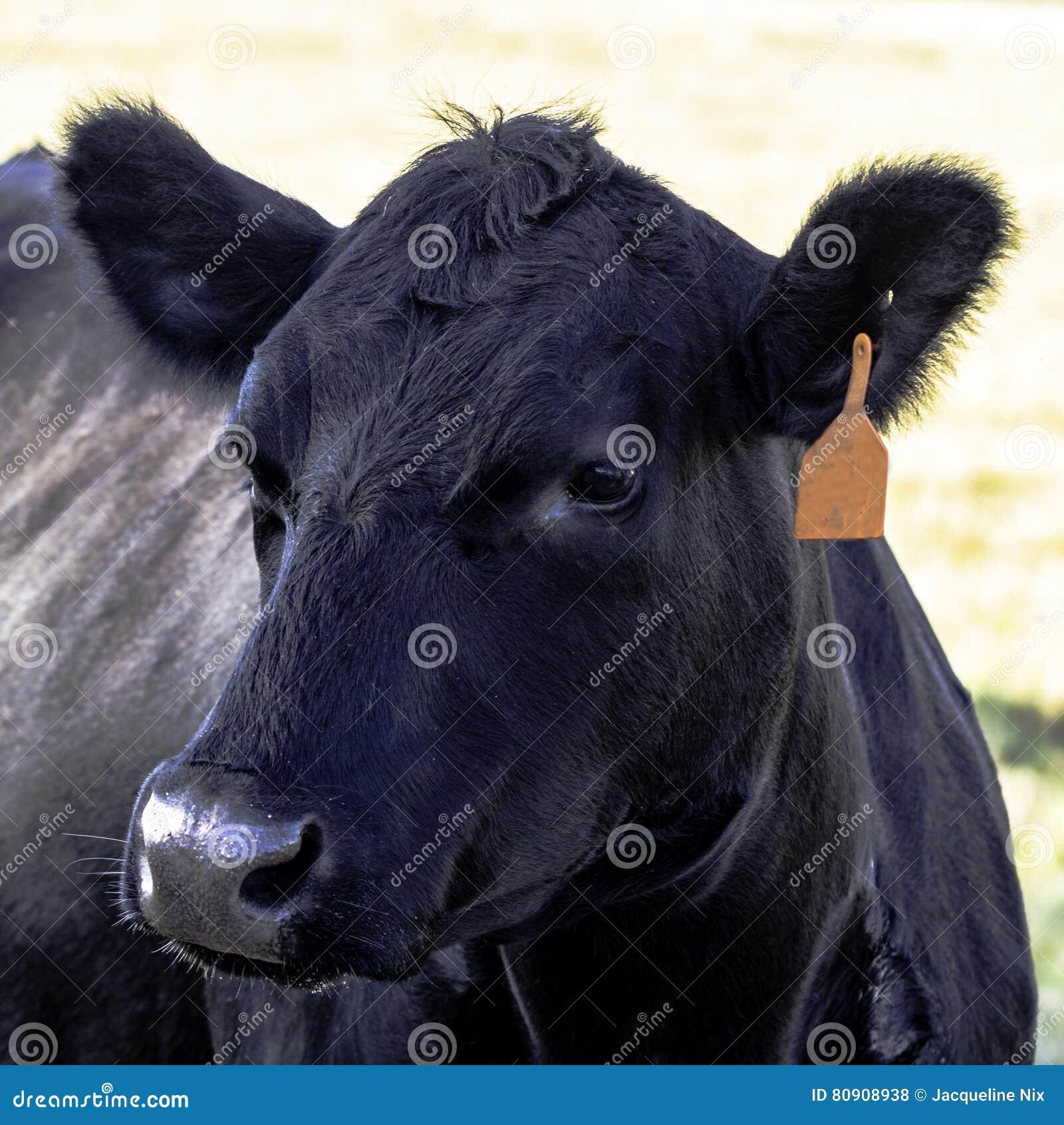 Zwart de koehoofd van Angus