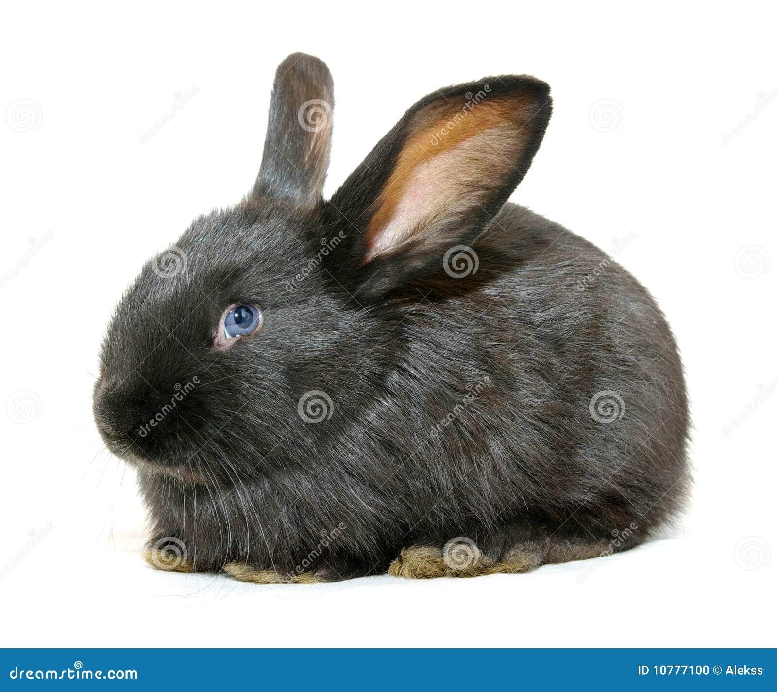 Zwart konijn