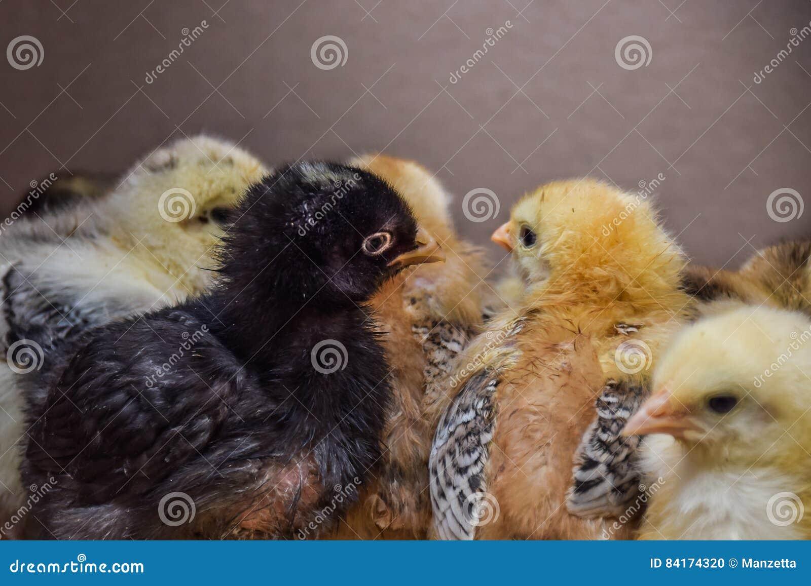 grote zwarte hanen en witte kuikens