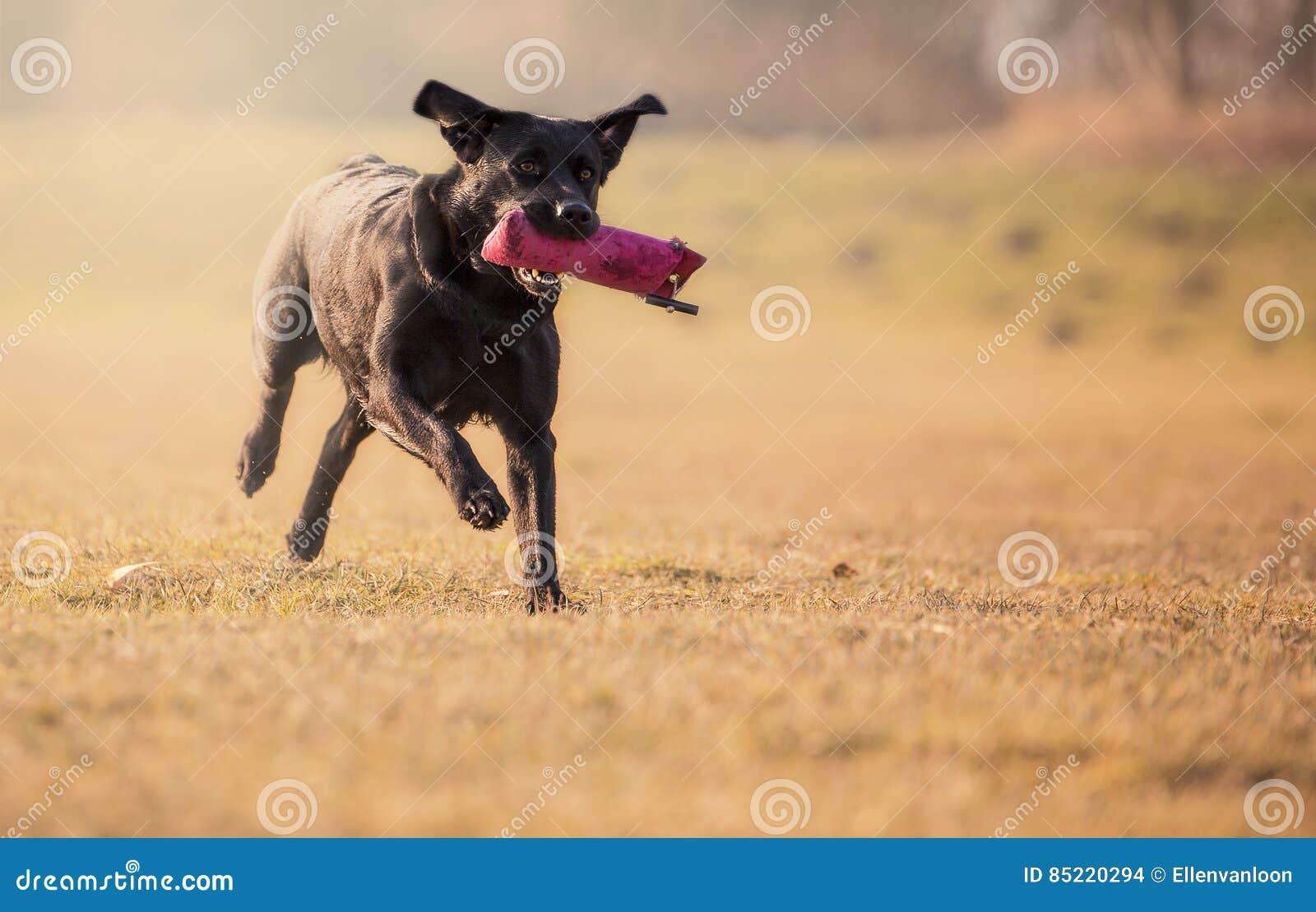 Zwart Labrador