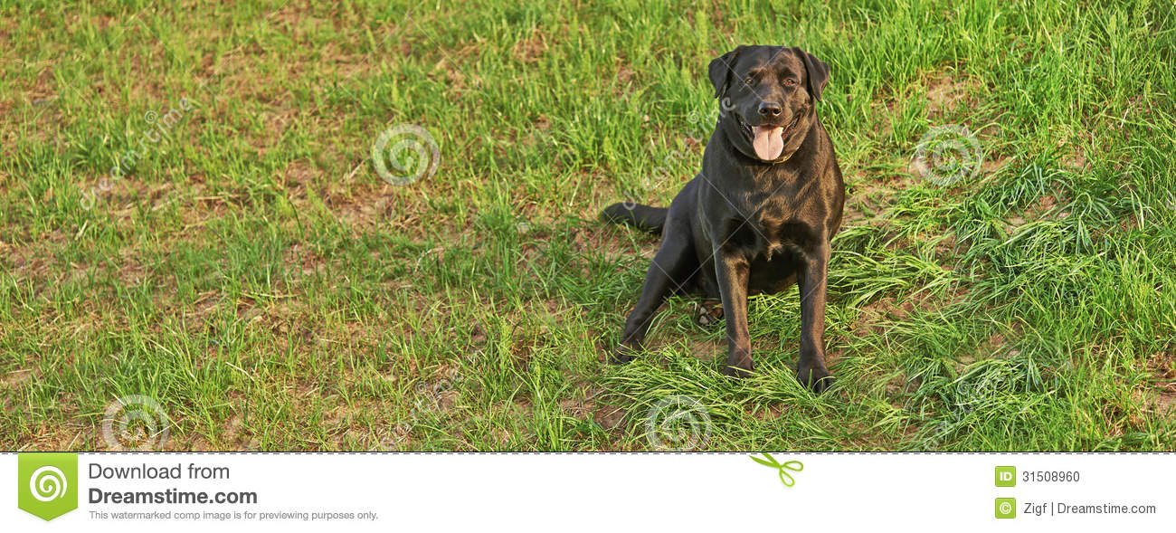 Zwart labrador retriever