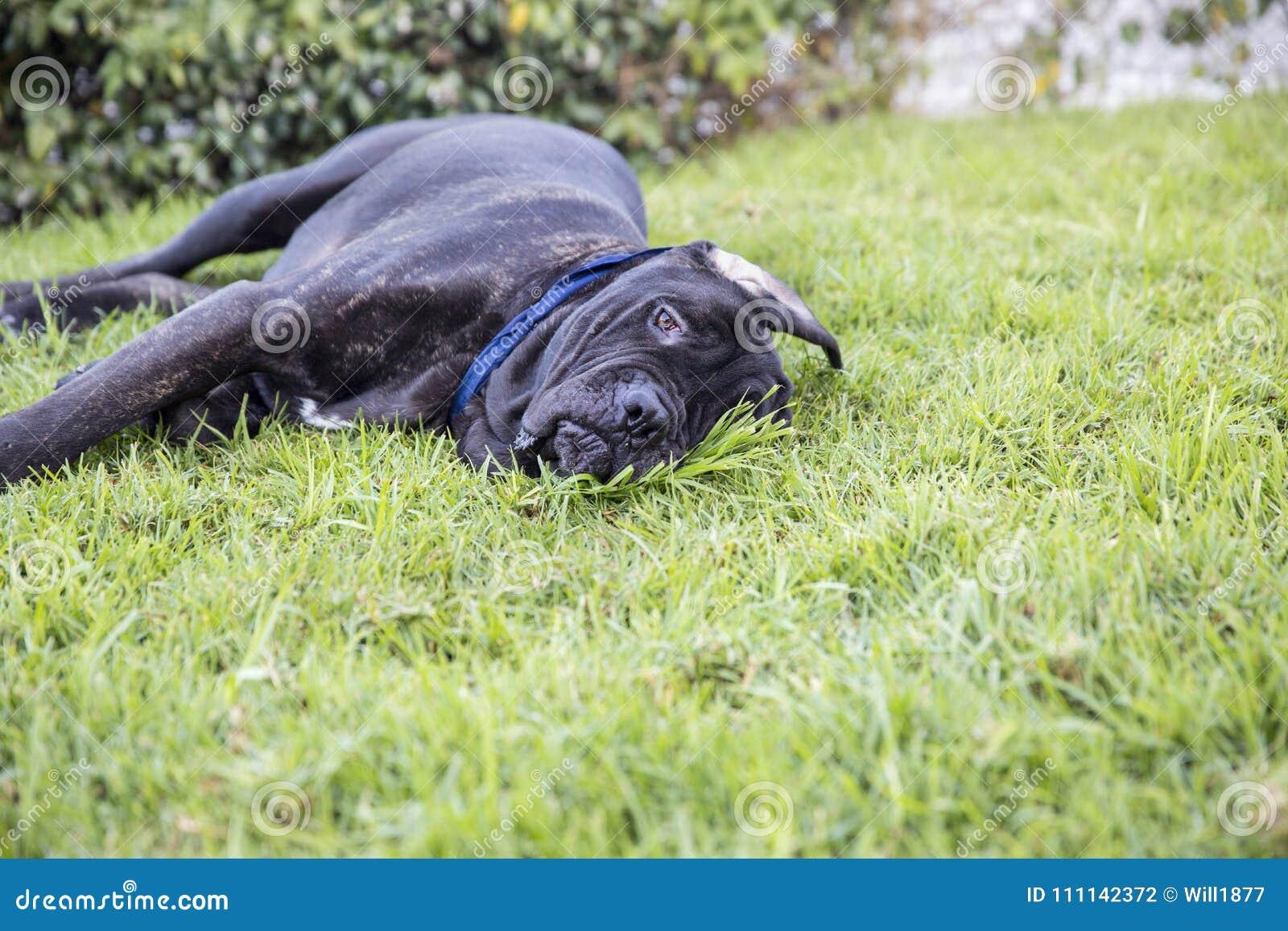 Zwart puppy die op gazon leggen