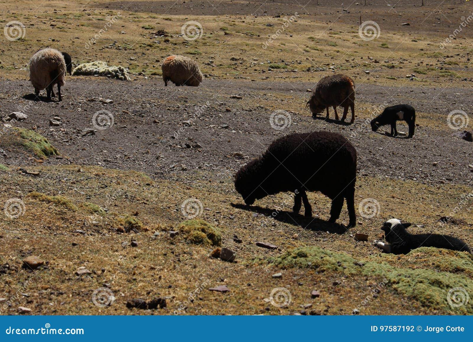 Zwart schapen