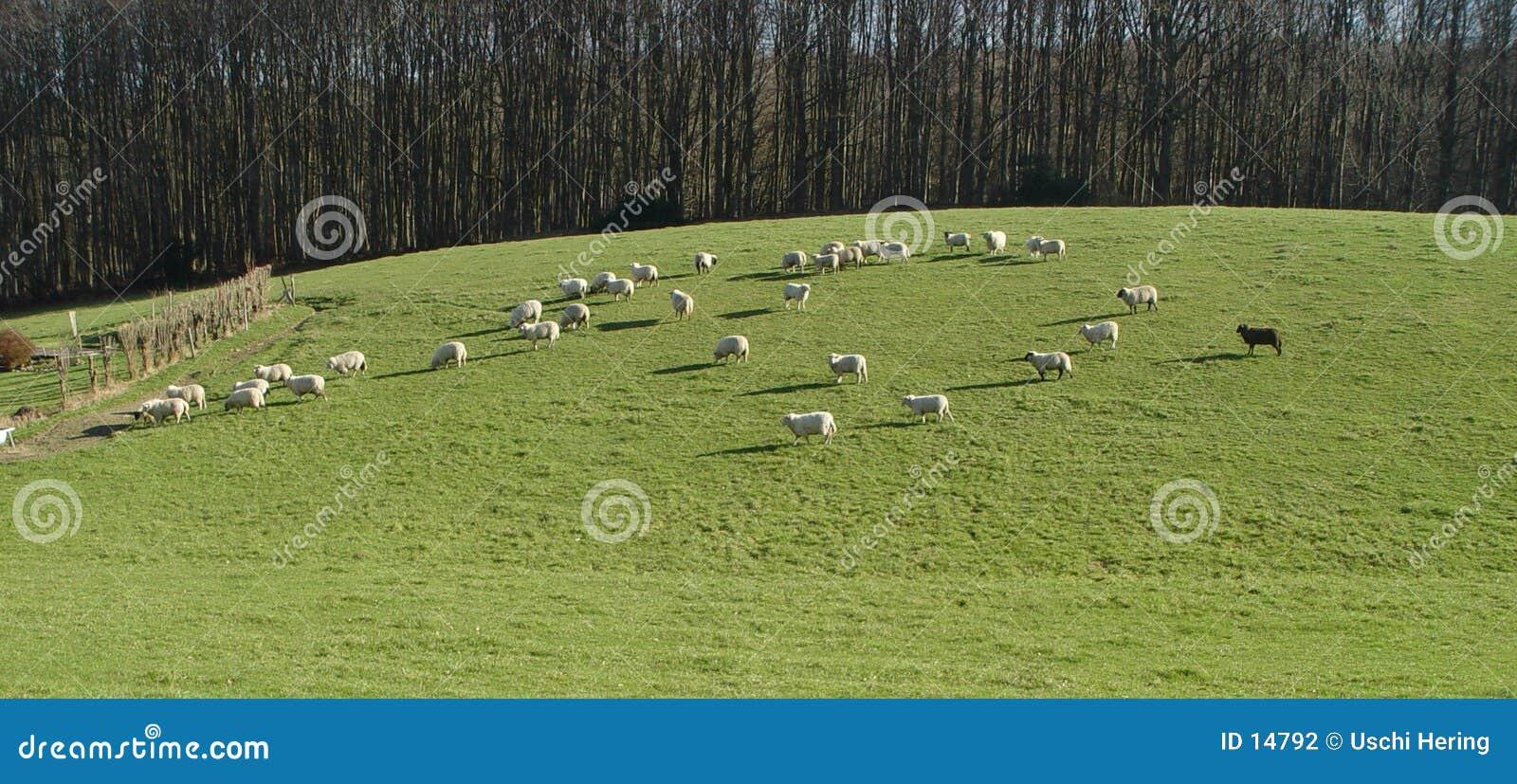 Zwart schapen panorama