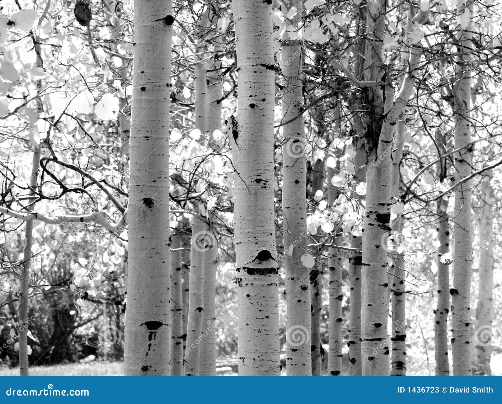 Zwart-wit Beeld Van De Bomen Van De Esp Stock Fotos - Afbeelding ...