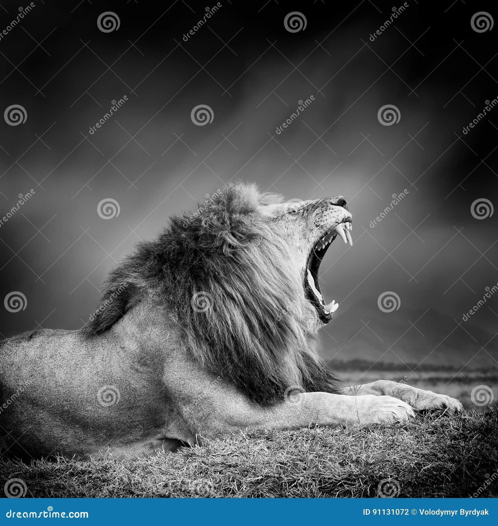 Zwart-wit beeld van een leeuw