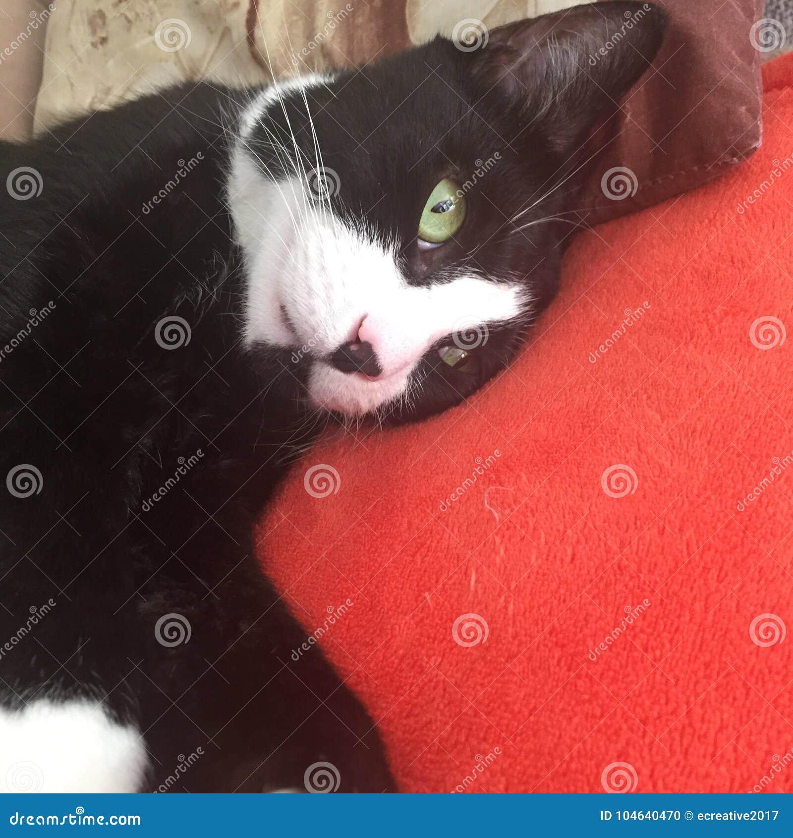 Download Zwart-wit | Groene Ogen | Leuke Kat Stock Foto - Afbeelding bestaande uit groen, mannetje: 104640470