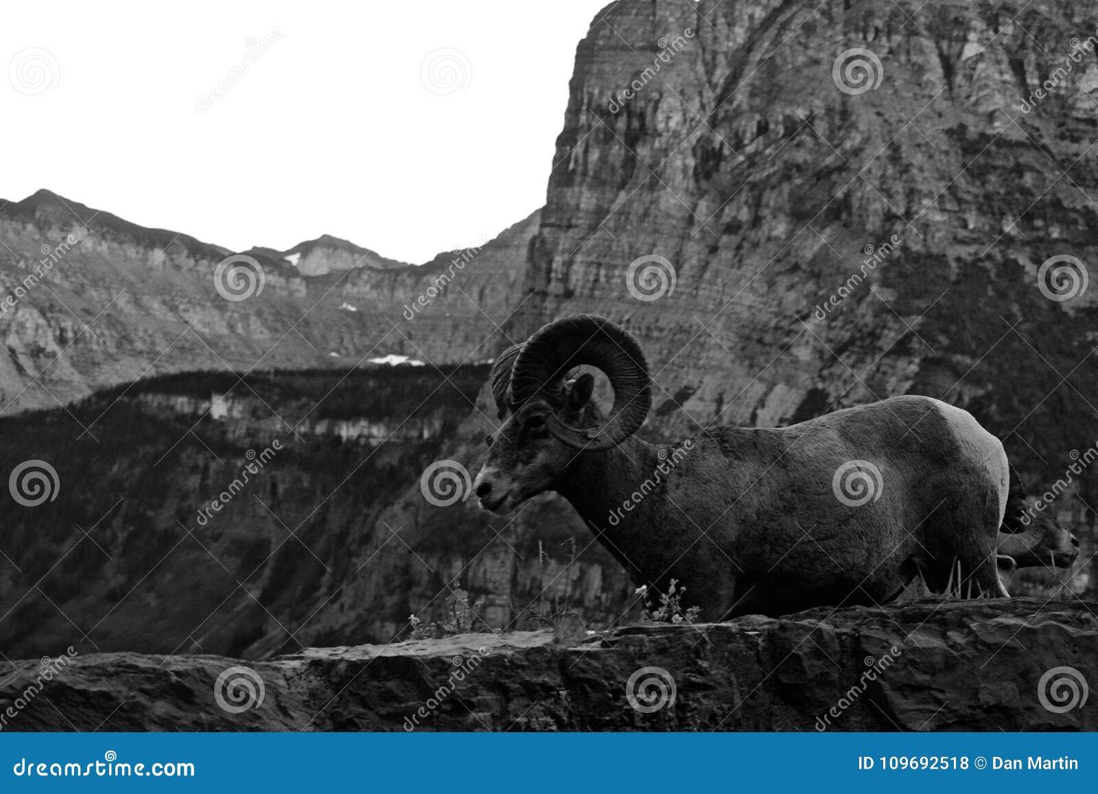 Zwart-wit Landschap van Rocky Mountain Bighorn Sheep