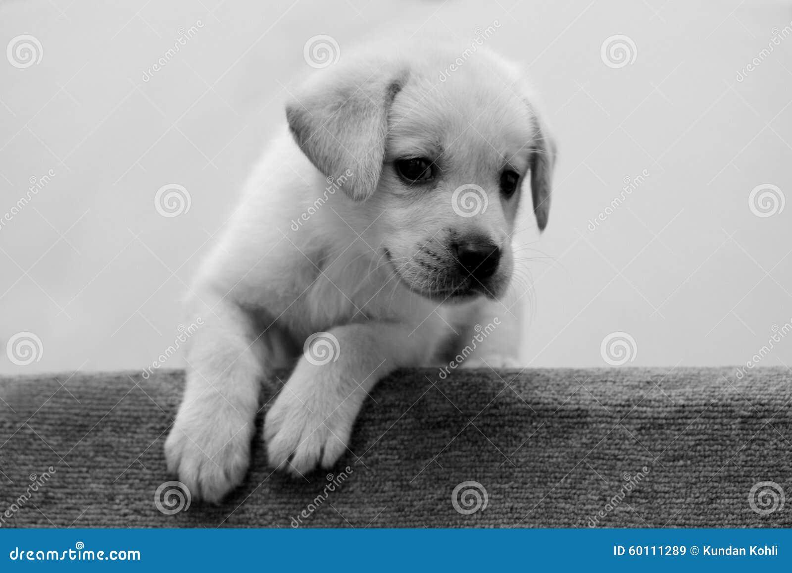 Zwart-wit Puppy Stock Foto - Afbeelding: 60111289