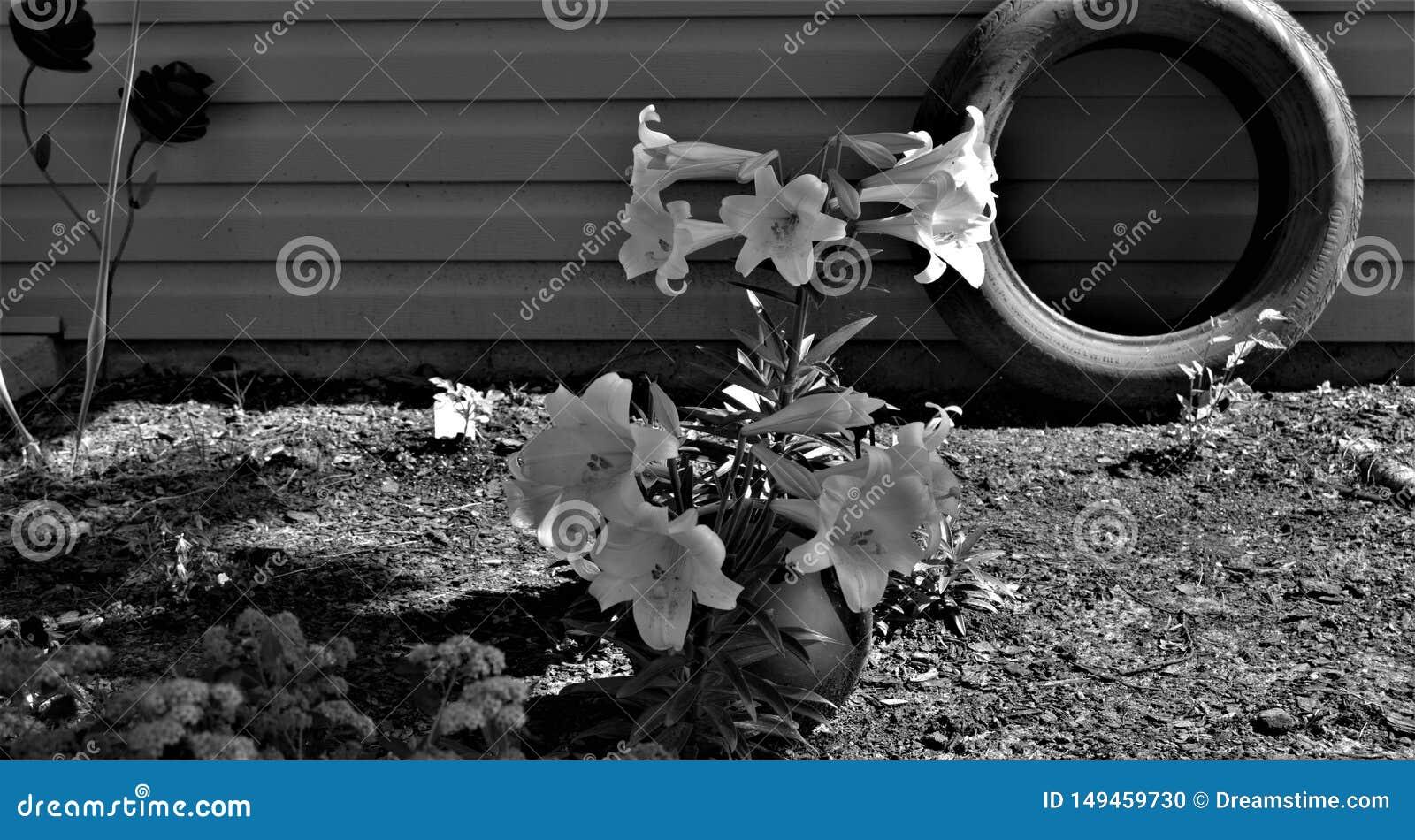 Zwart-wit van Pasen-Lelies