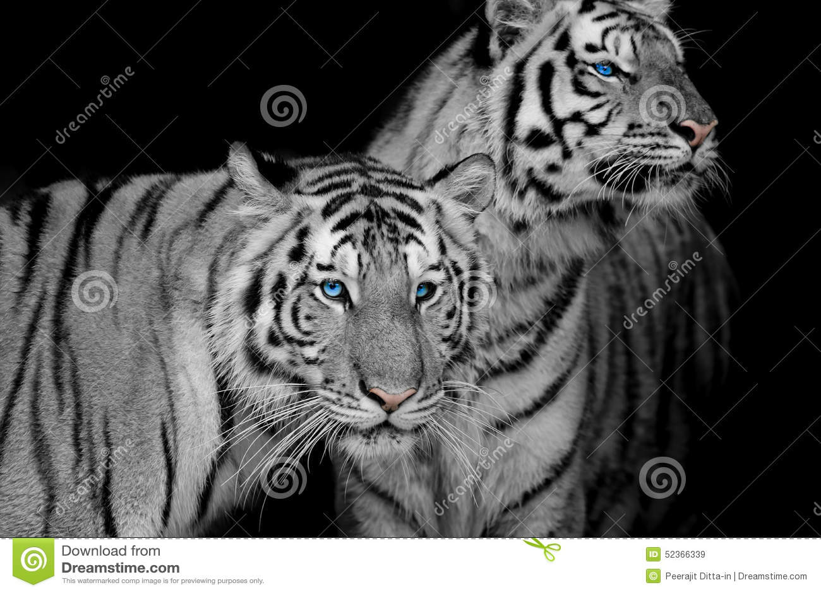 Zwart & Wit van twee tijgers