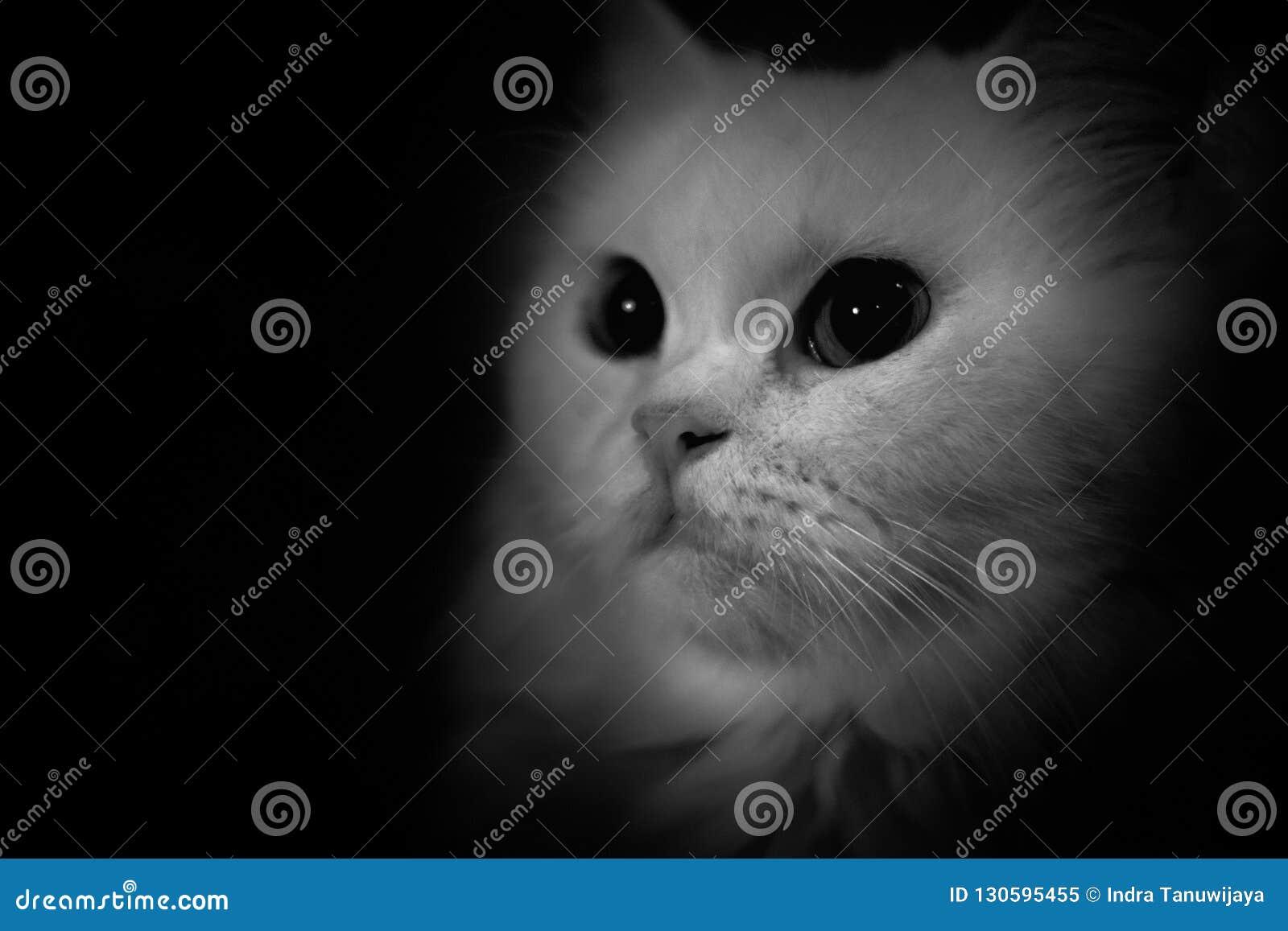 Zwart-witte Perzische lange haarkat