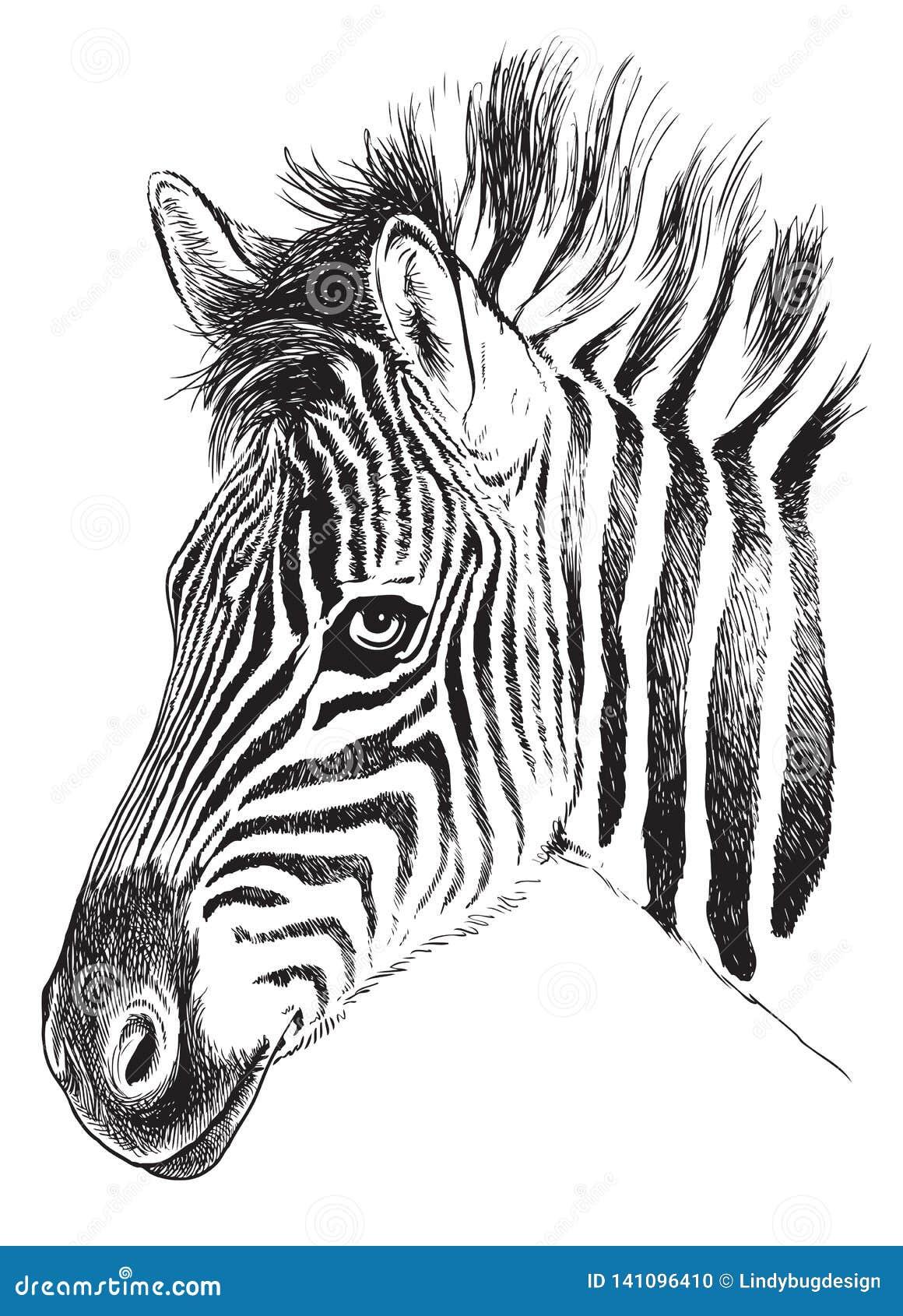 Zwart-witte schets van een jong Zebra's-gezicht
