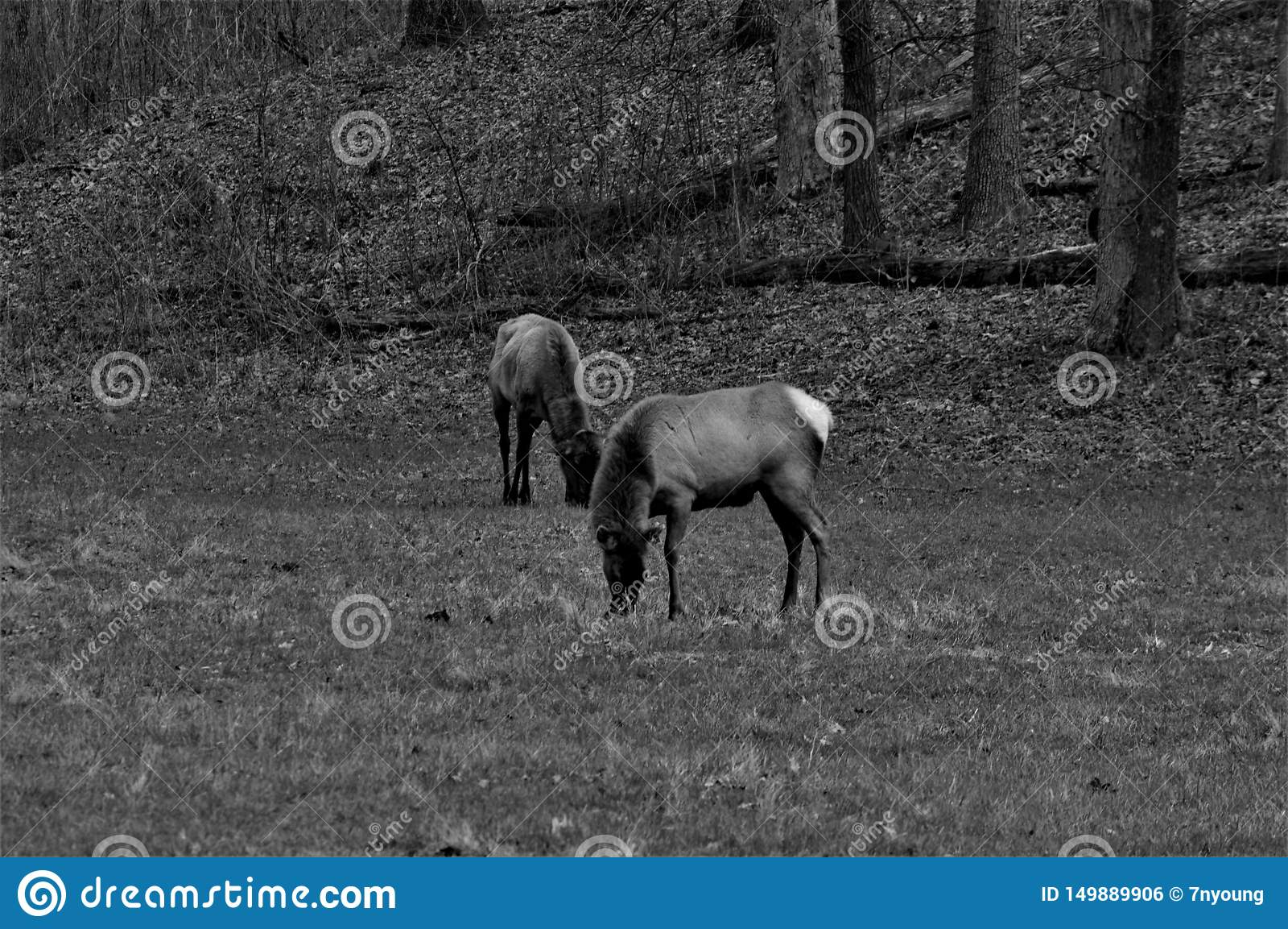 Zwart-witte Twee Elanden die en zich in een Bos bevinden eten
