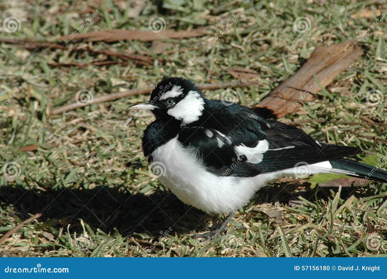 Zwart-witte Vogel Stock Foto - Afbeelding: 57156180