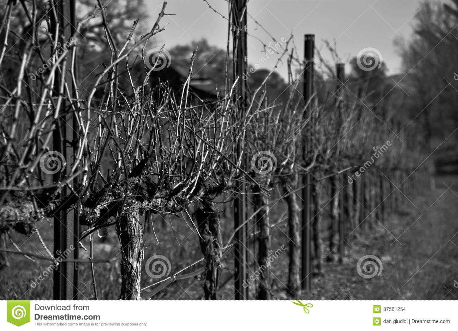 Zwart-witte Wijnstok