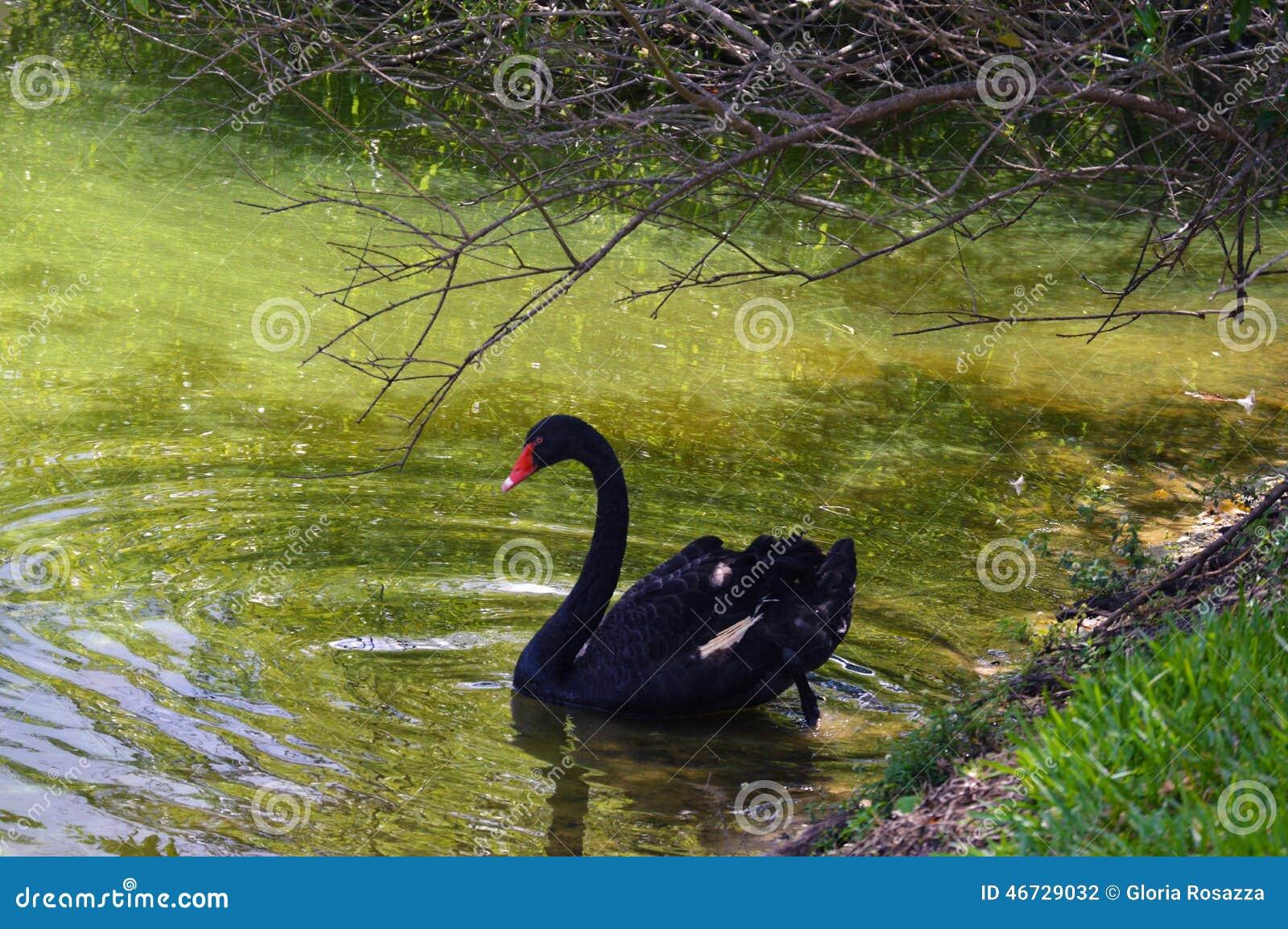 Zwart zwaanbeeld