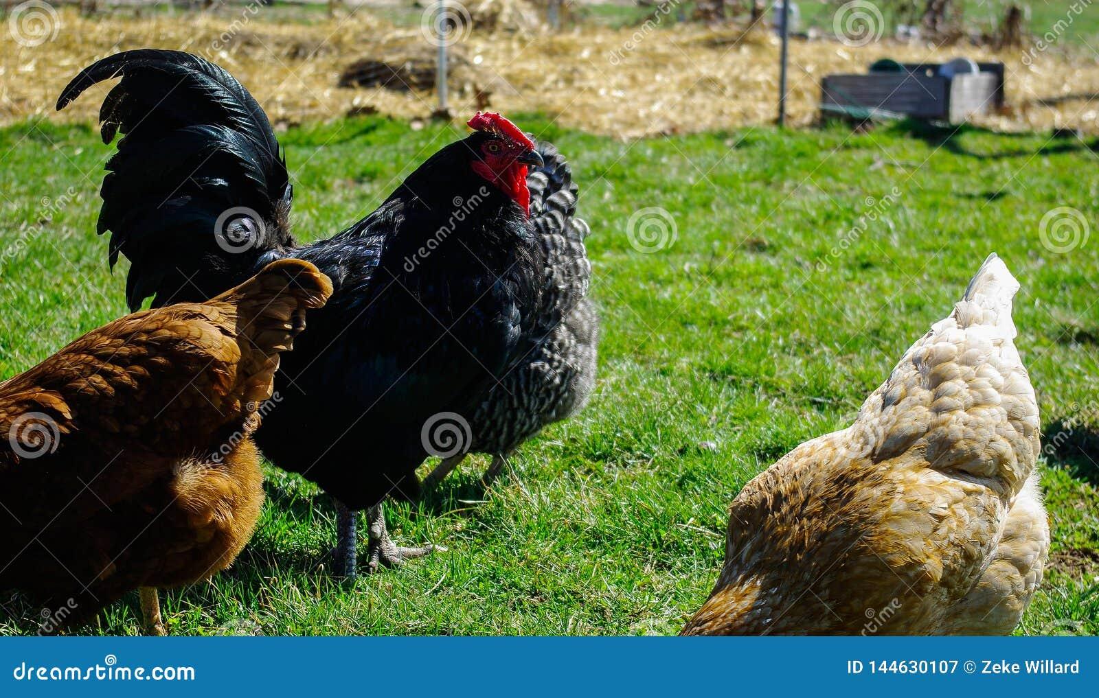 Zwarte australorphaan met kippen
