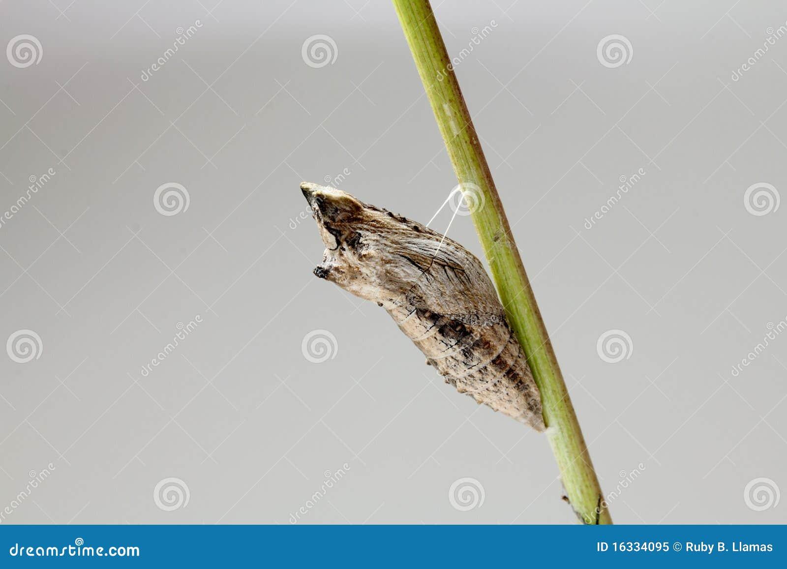 Zwarte Cocon Swallowtail