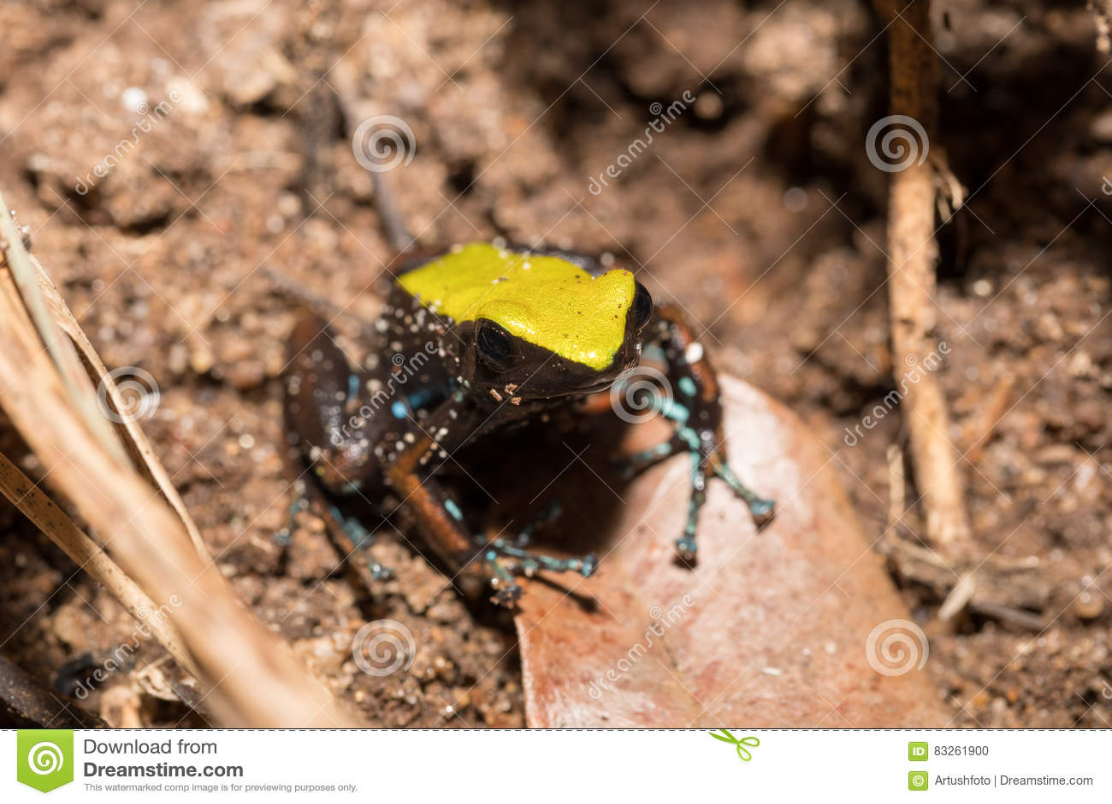 Zwarte en gele kikker die Mantella, Madagascar beklimmen
