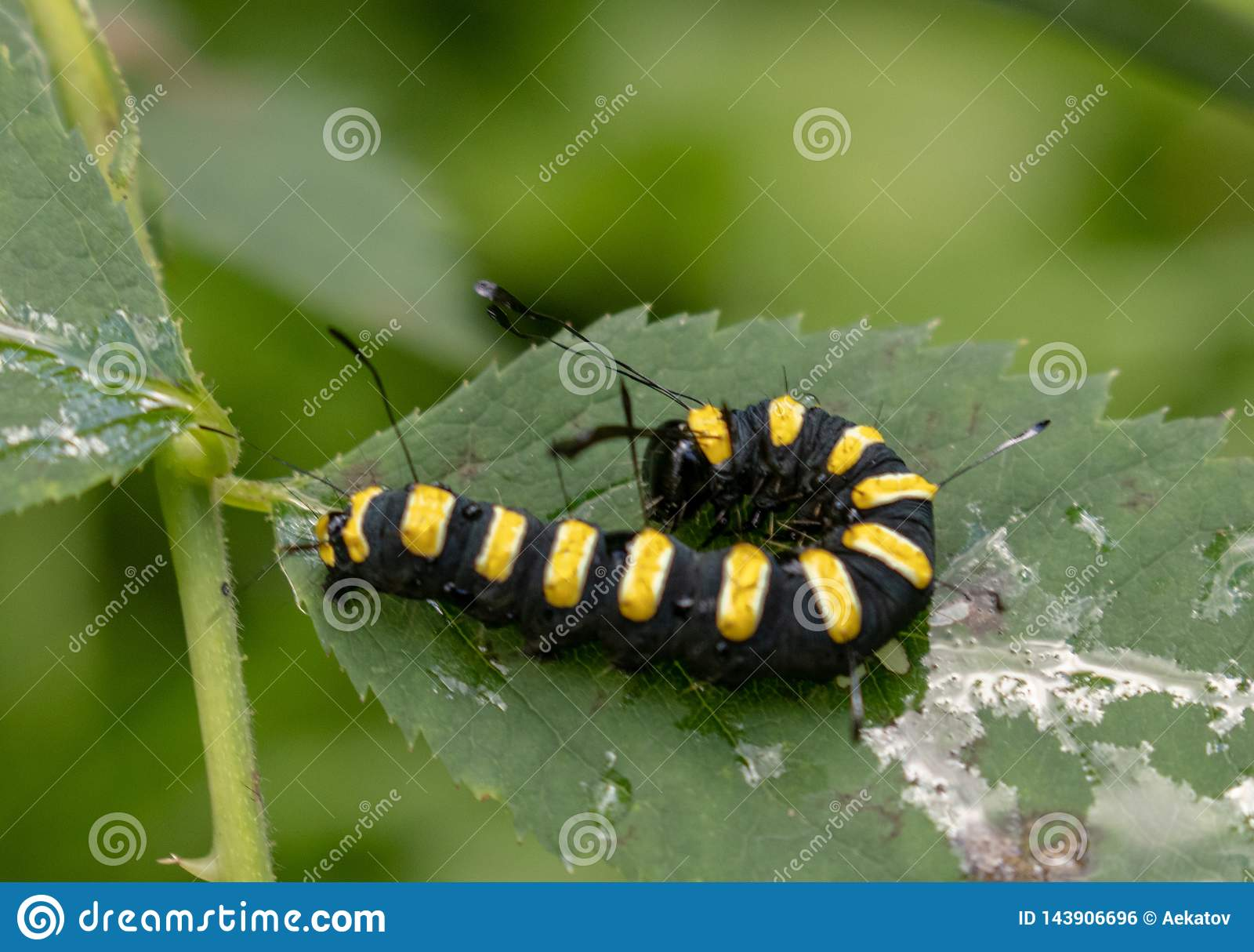 Zwarte en Gele Rupsband