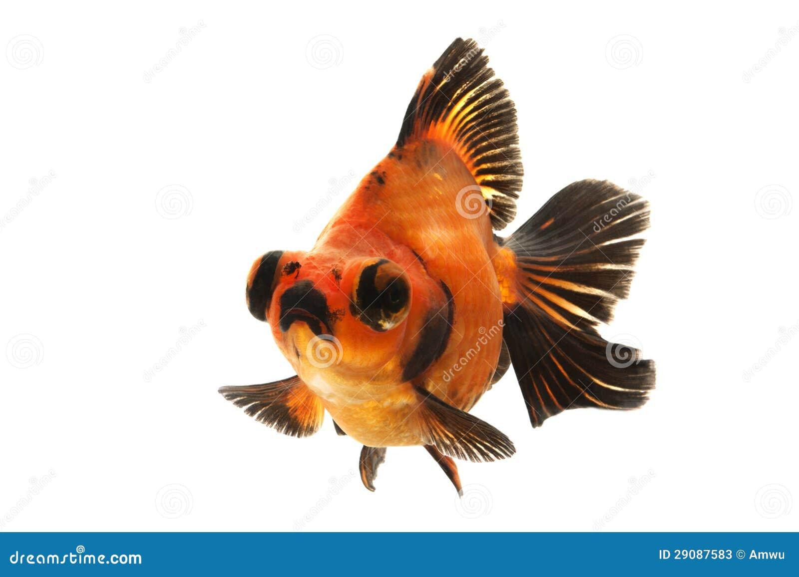 Zwarte en rode goudvis stock foto 39 s afbeelding 29087583 for Achat poisson rouge japonais