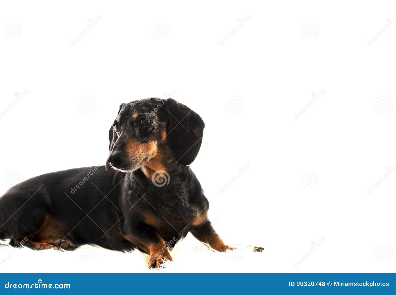 Zwarte en Tan Dapple Dachshund met Witte Achtergrond