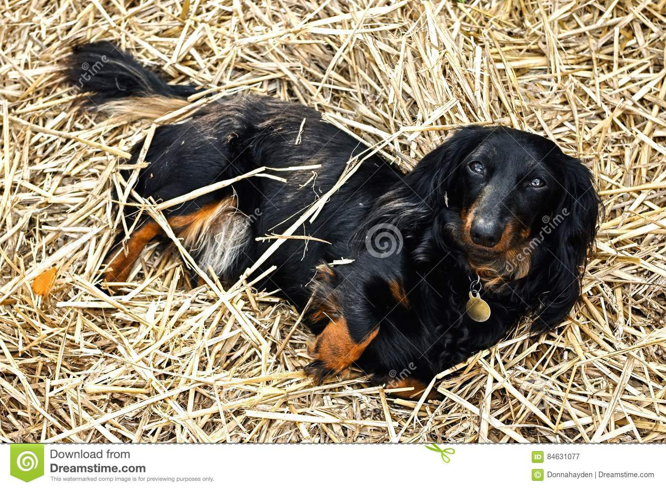 Zwarte en Tan Long-Haired Dachshund Laying in een Bed van Stro in de tuin