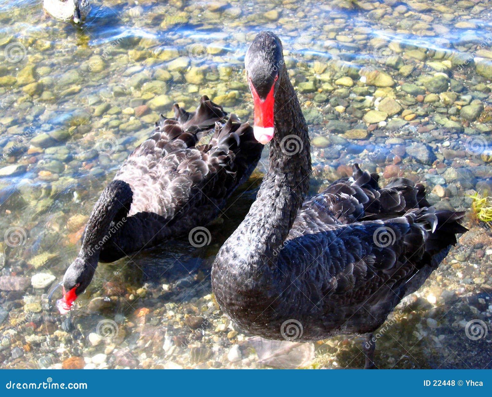Zwarte ganzen of zwanen