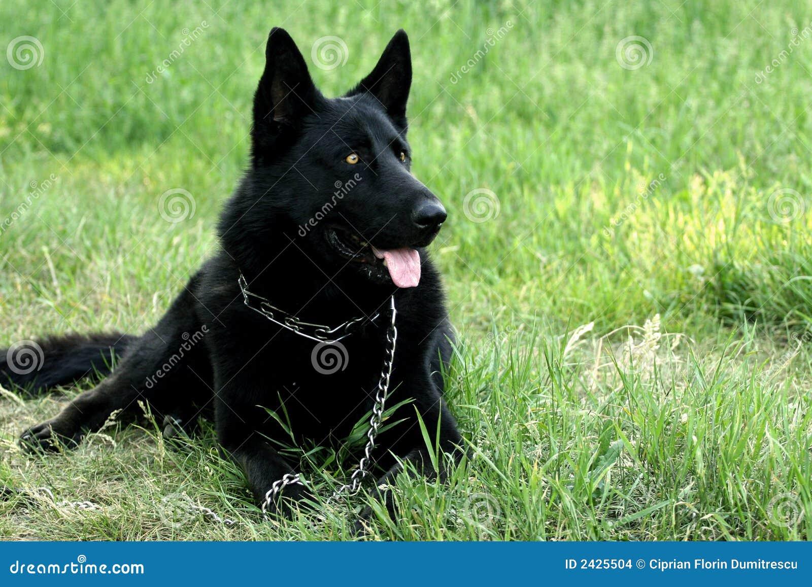 zwarte hond stock foto afbeelding bestaande uit openlucht 2425504. Black Bedroom Furniture Sets. Home Design Ideas
