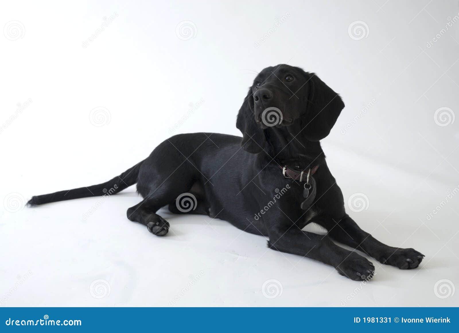 zwarte hond in de studio stock afbeelding afbeelding bestaande uit gezond 1981331. Black Bedroom Furniture Sets. Home Design Ideas