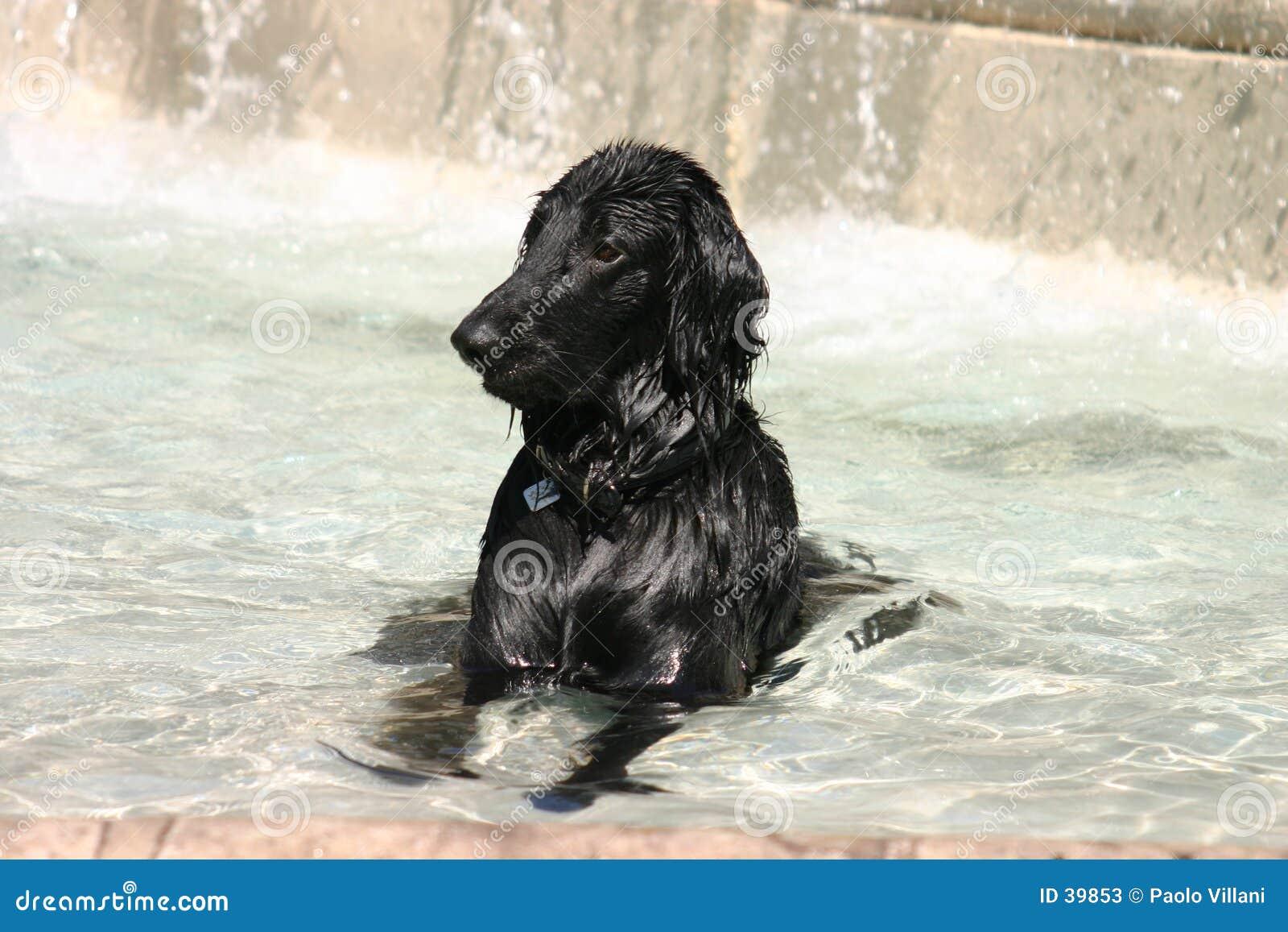 Zwarte hond die in een fontein wordt ondergedompeld