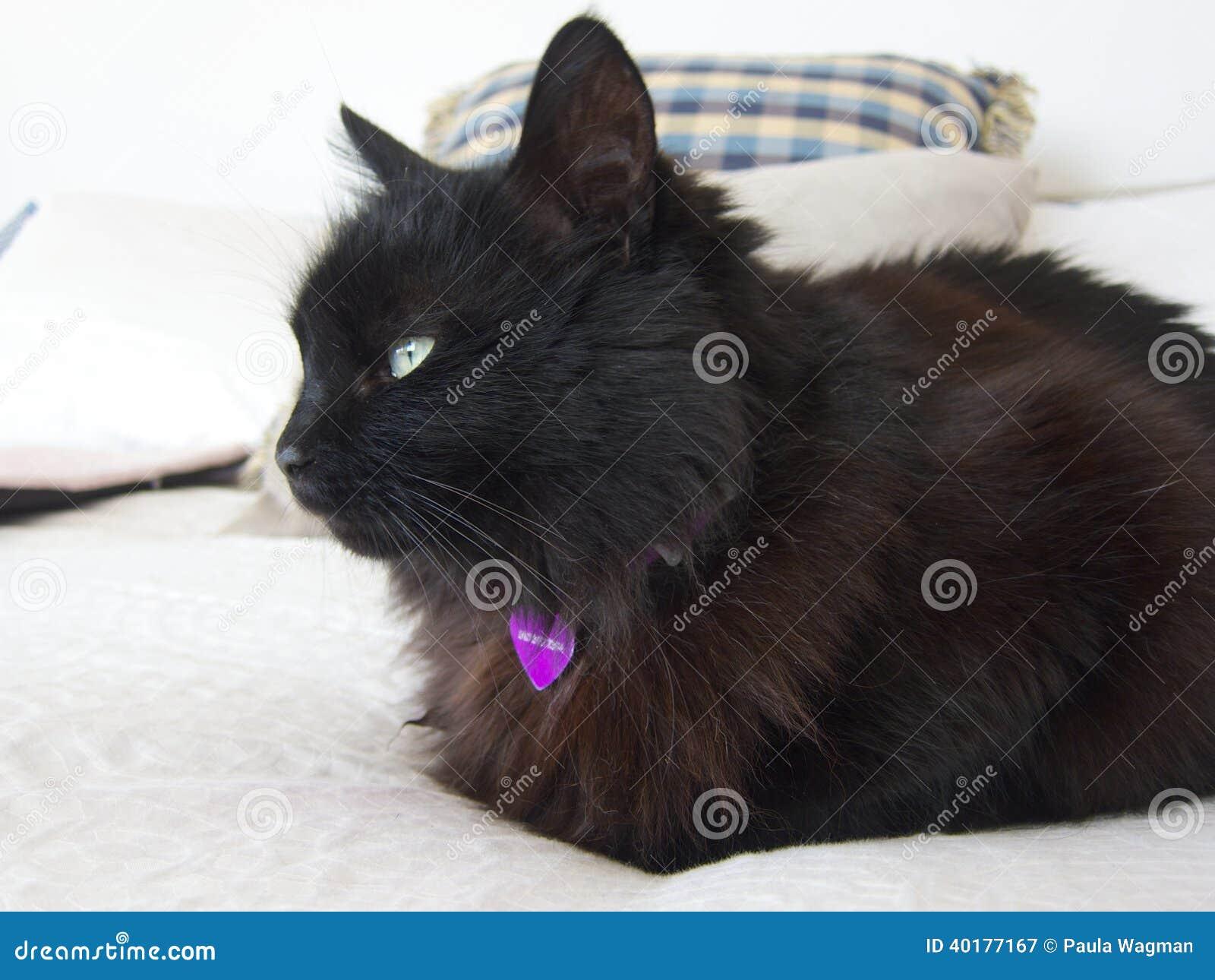 Zwarte kat op bed stock foto afbeelding 40177167 - Bed na capitonne zwarte ...