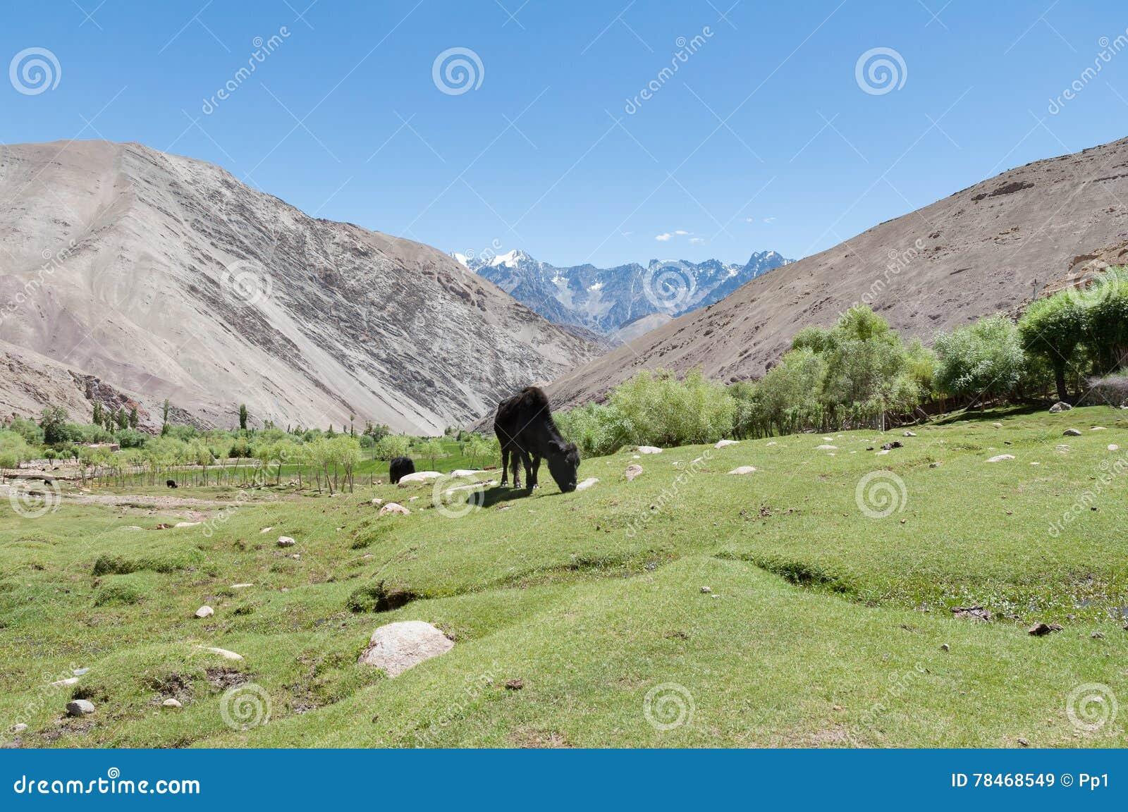 Zwarte koe het groen weiland van de grasweide en berglandschap stock foto afbeelding 78468549 - Groen behang van het water ...