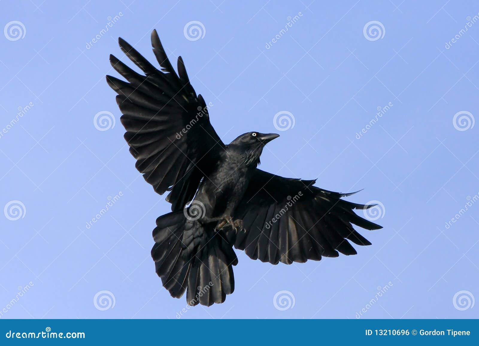 Black Bird, Vol. 17-ExLibrary
