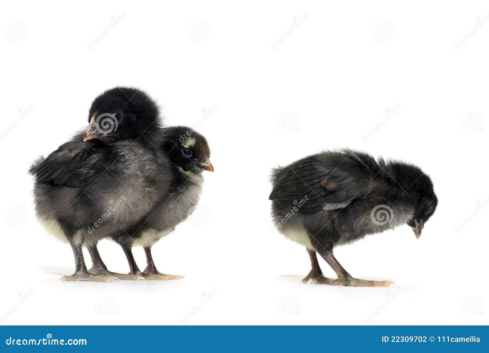 Jonge zwarte kuikens