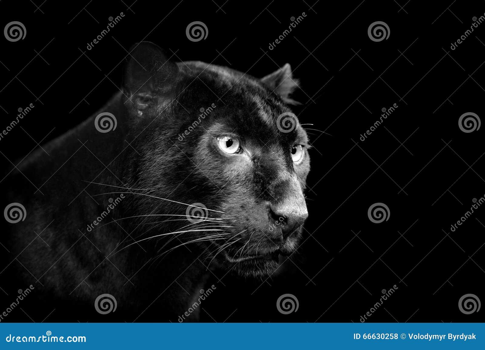 5e69ceb9b78d5a Zwarte Luipaard Op Donkere Achtergrond Stock Foto - Afbeelding ...