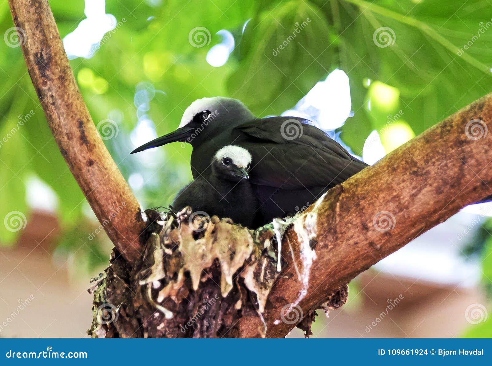 Zwarte Noddy vogel met kuiken