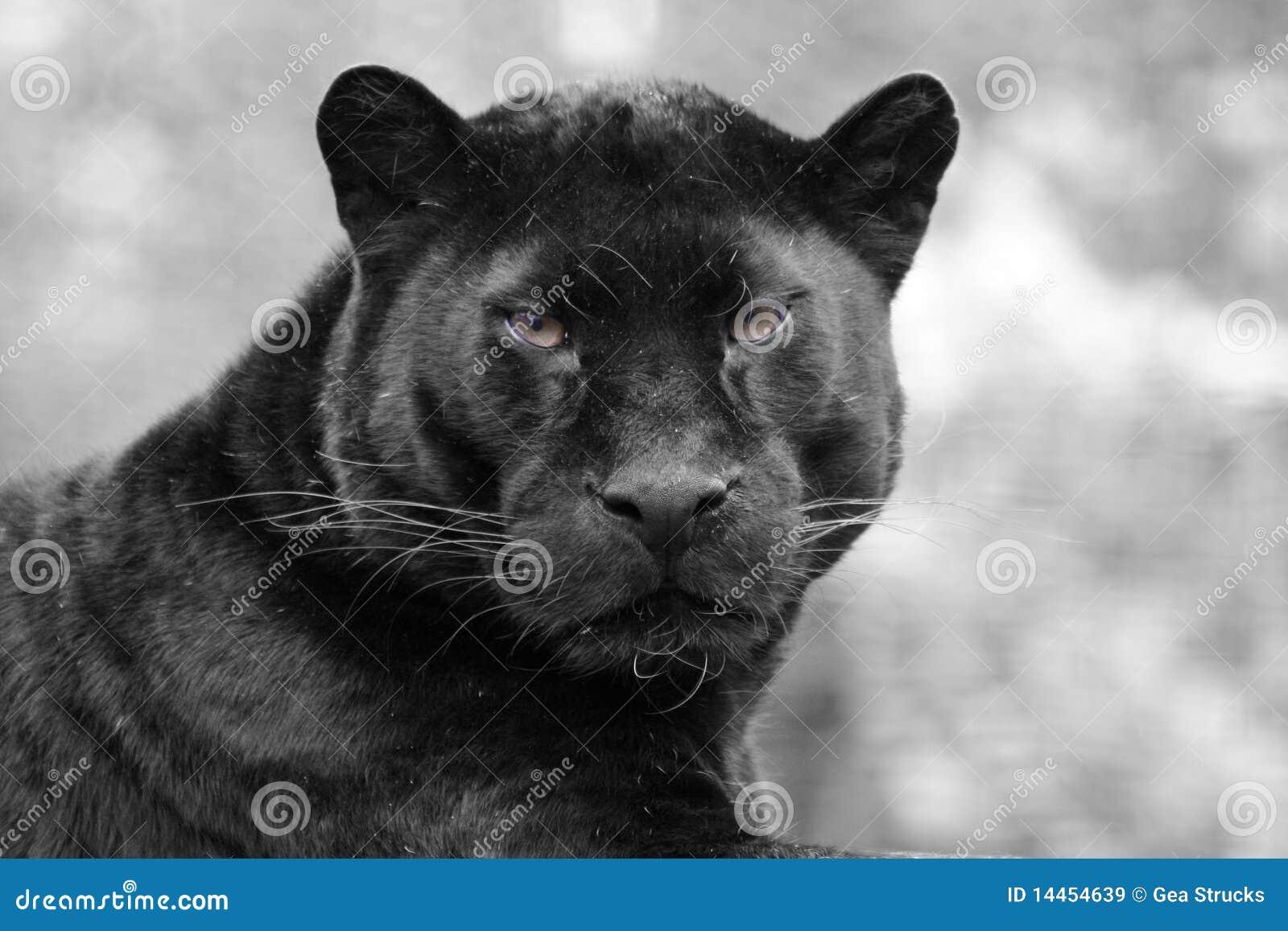 black jaguar clipart