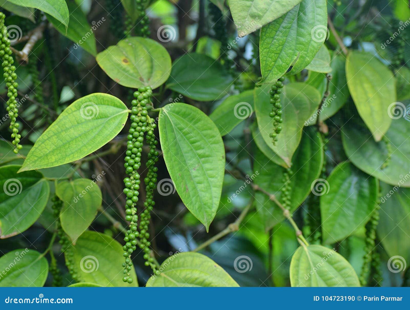 Zwarte peperwijnstok - Piper Nigrum - Groene steenvruchten met Bladeren in Kerala, India