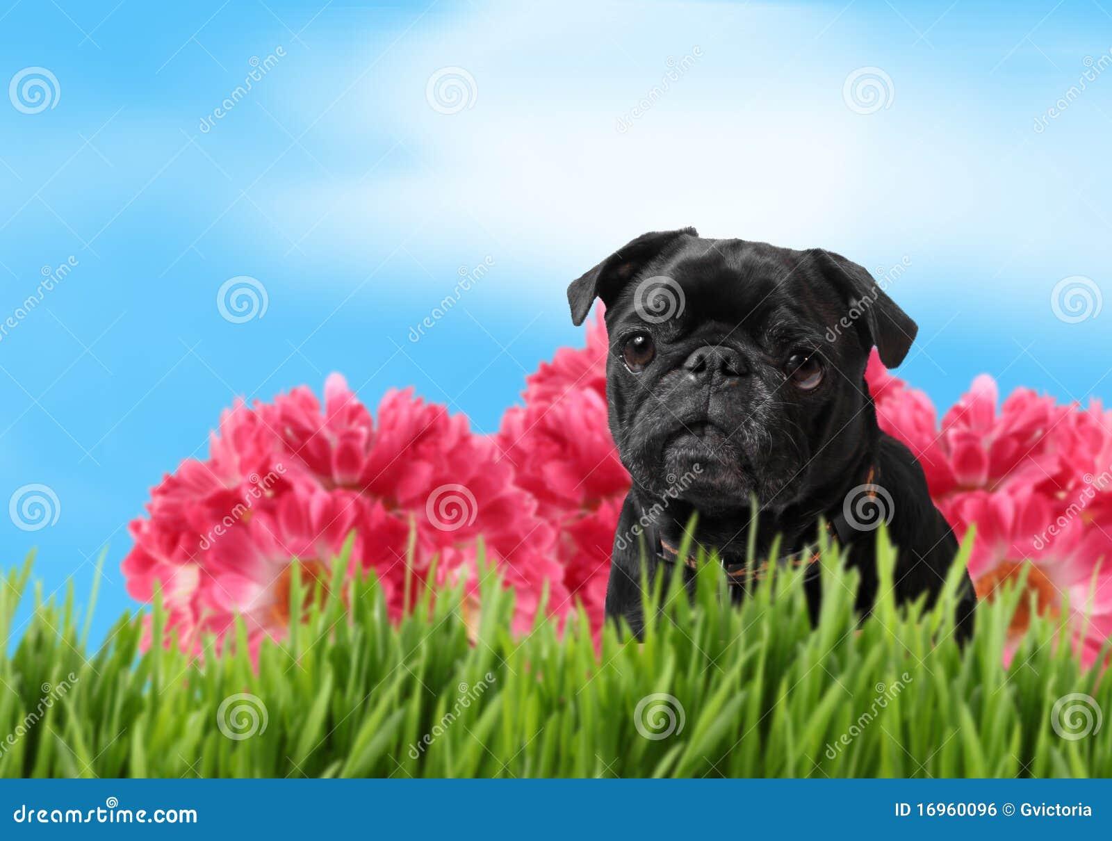 Zwarte pug met kleurrijke de lenteaard