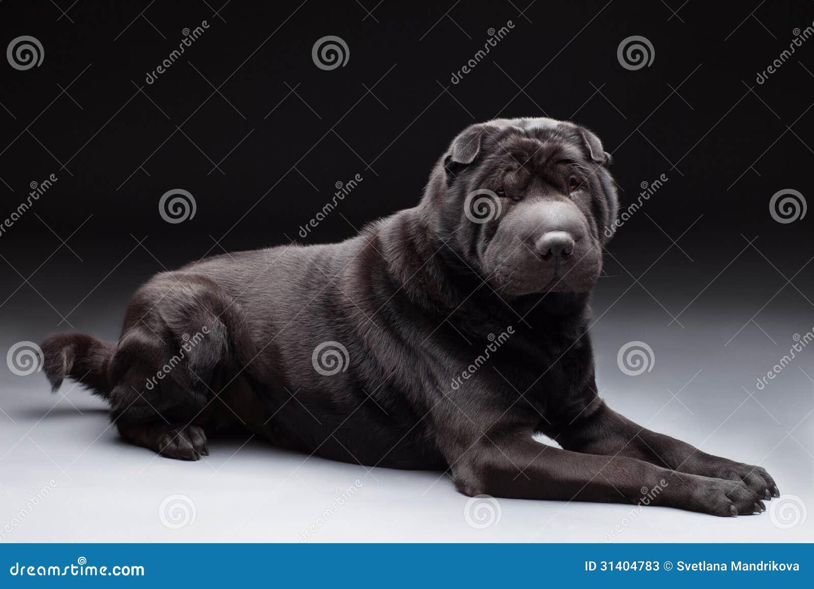 Zwarte shar pei stock afbeelding afbeelding bestaande uit volwassen 31404783 - Bed grijze volwassen ...