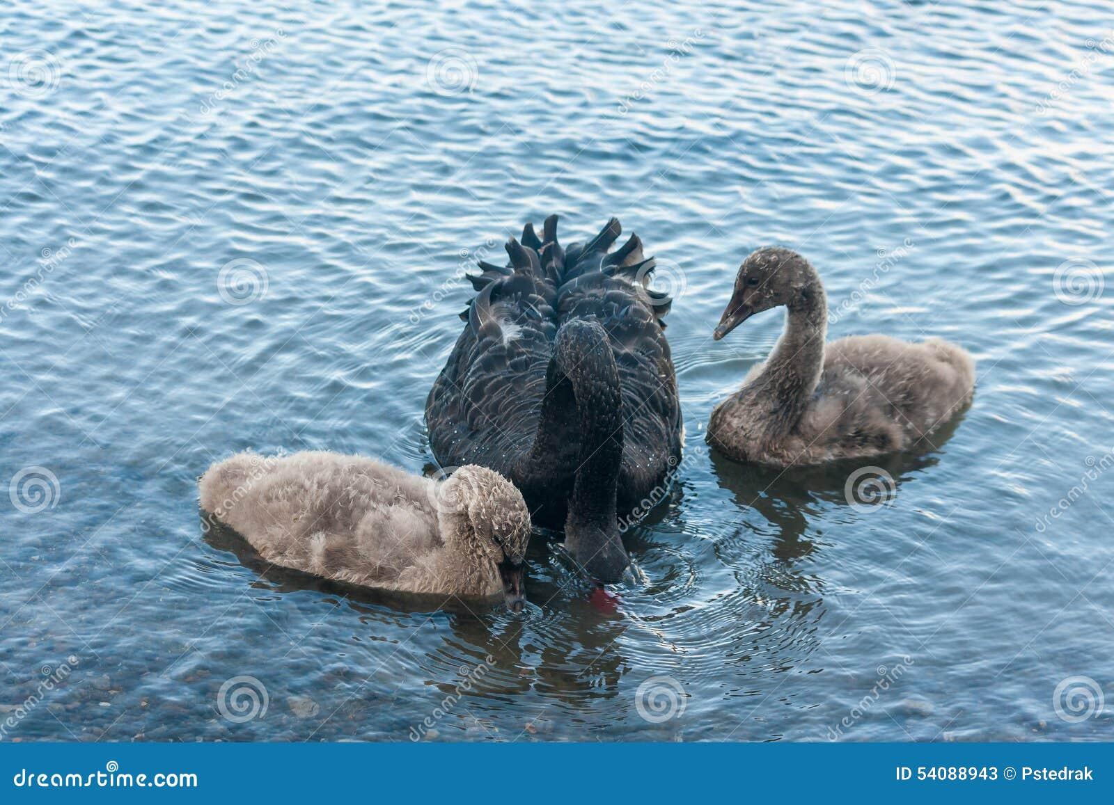 Zwarte zwaan met twee jonge zwanen