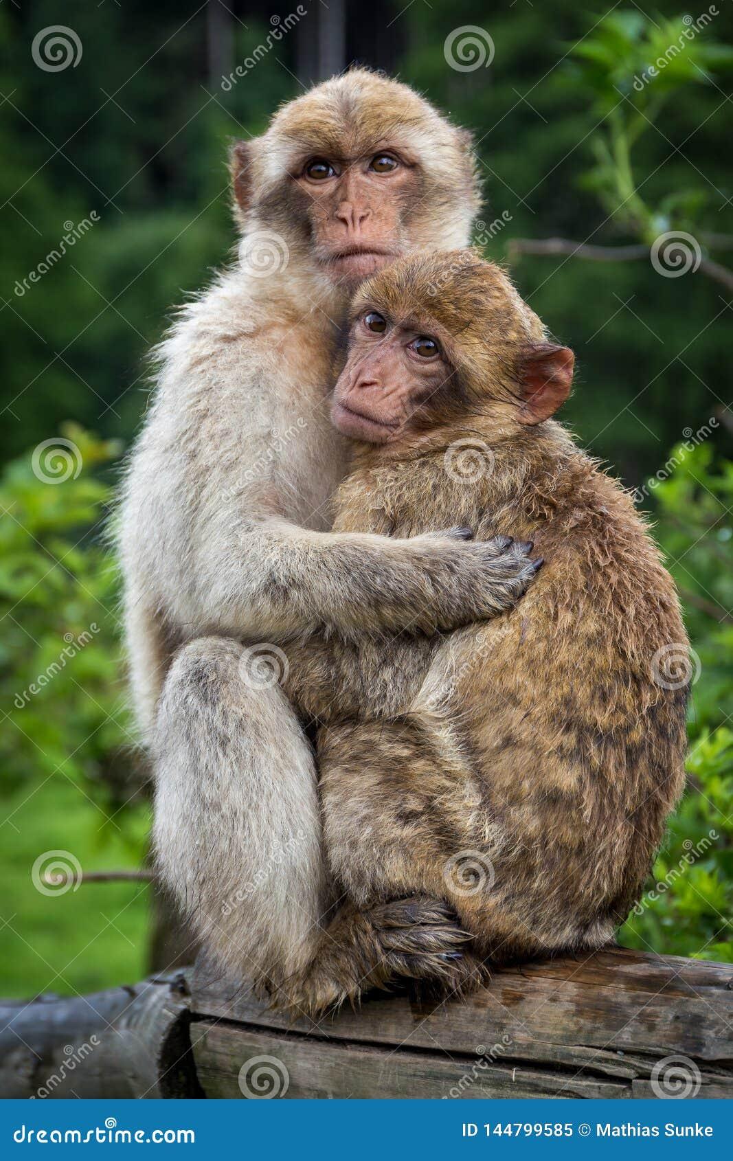 Zwei Affen, die sich umarmen