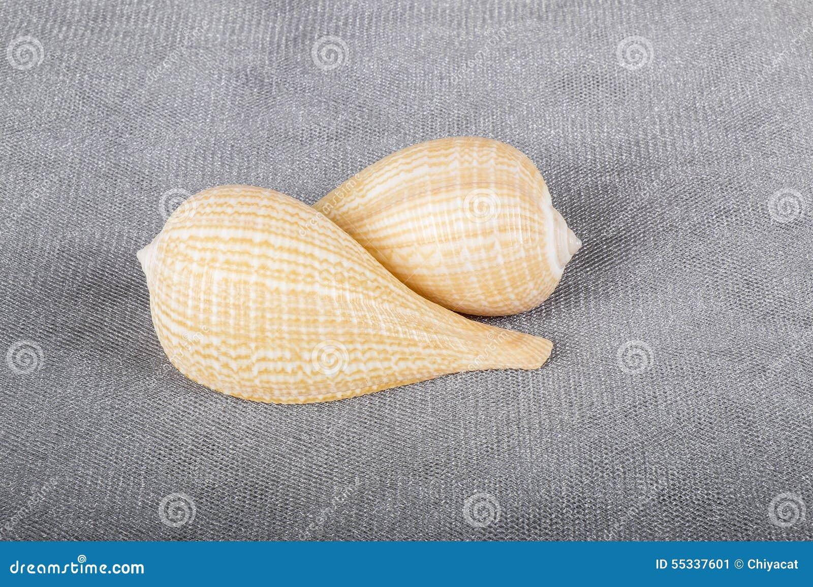 Zwei allgemeine Feigen-Muscheln