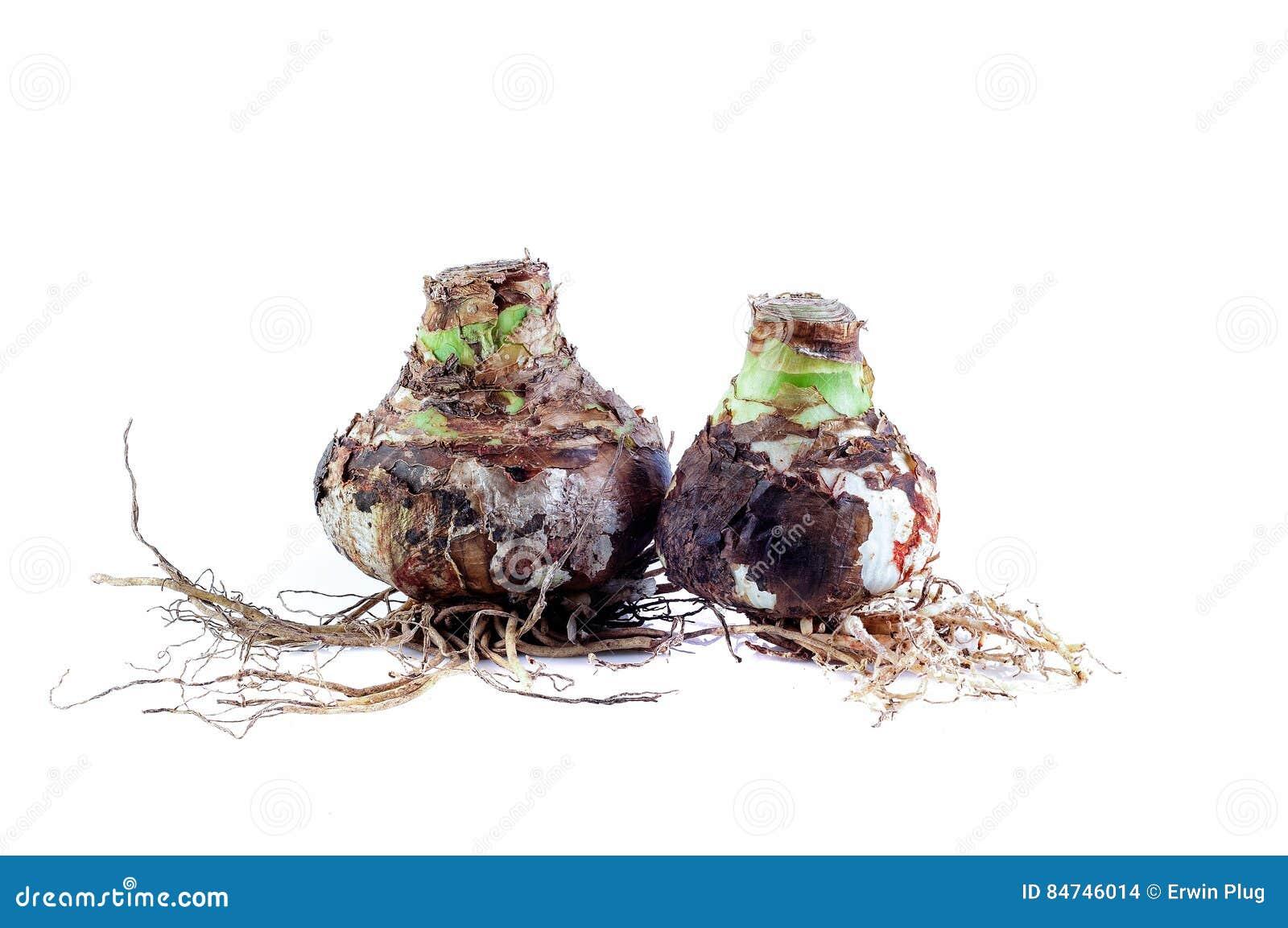 Zwei Amaryllis Mix Bulbs mit Wurzeln