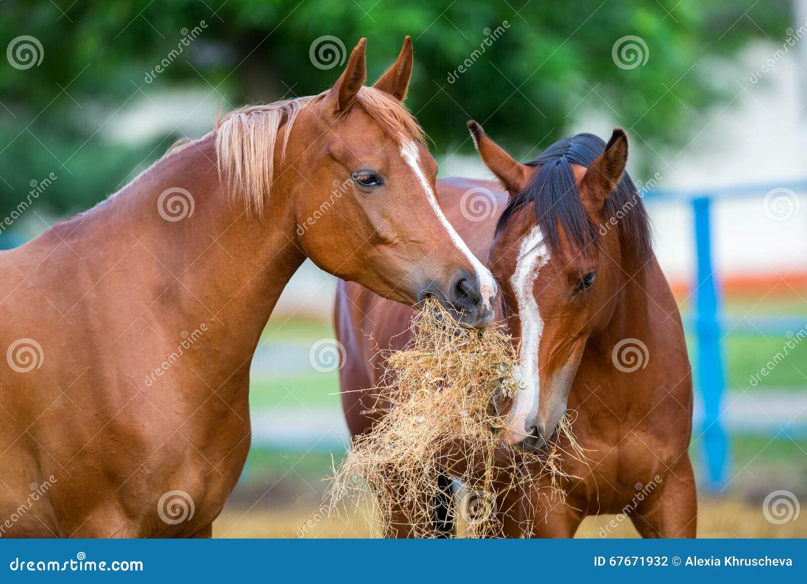 Zwei arabische Pferde, die Heu essen
