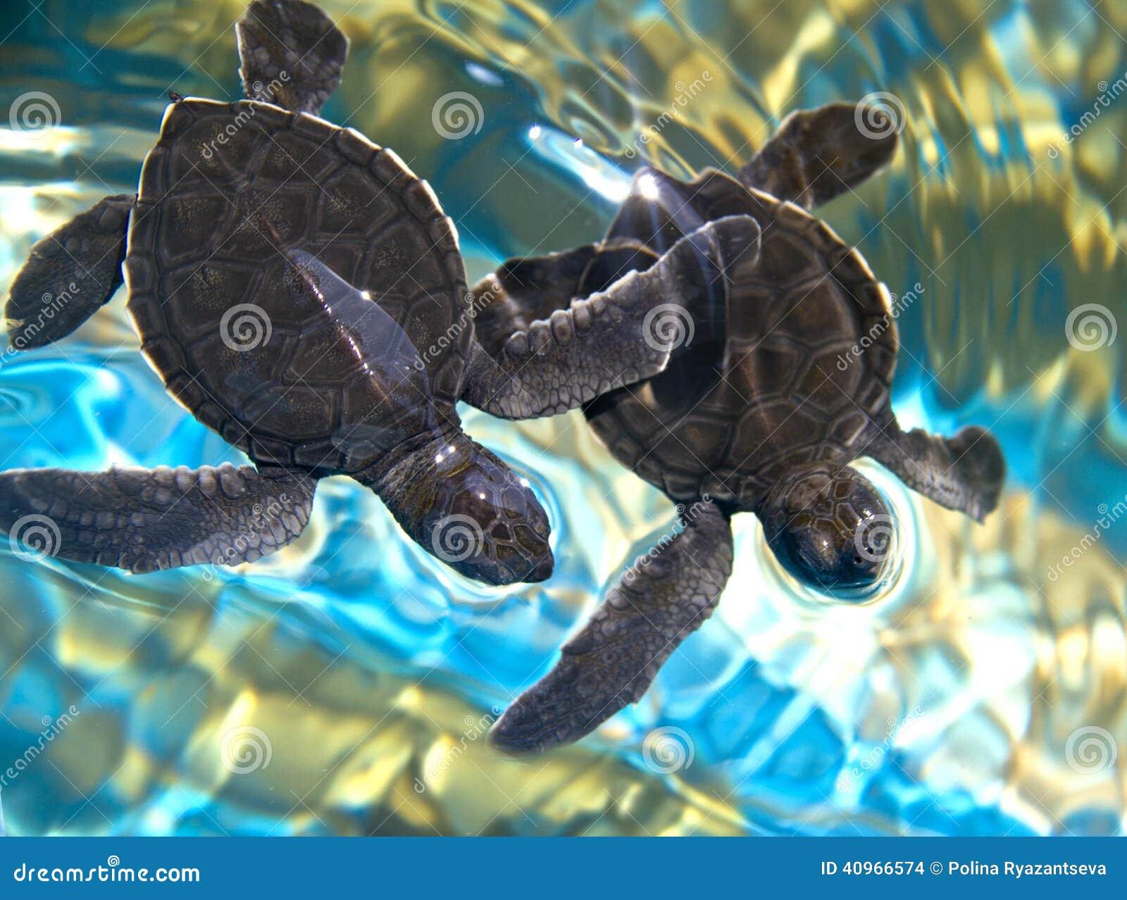 Zwei Babymeeresschildkröten