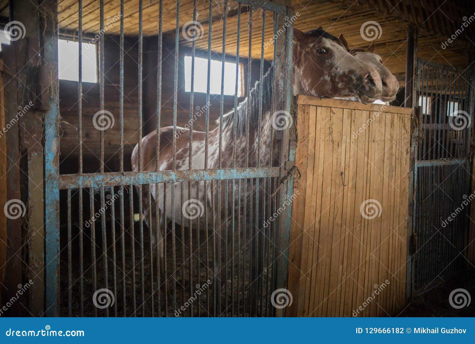Zwei braune Pferde, die in einem Stall stehen