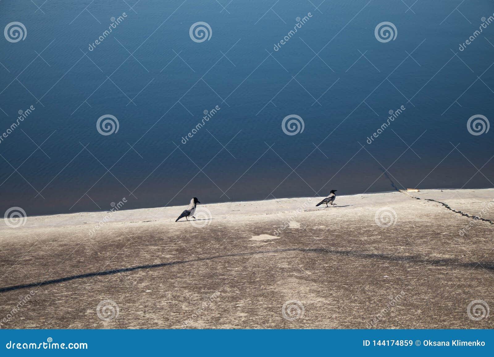 Zwei Elster auf dem Ufer des Reservoirs gehen nach einander